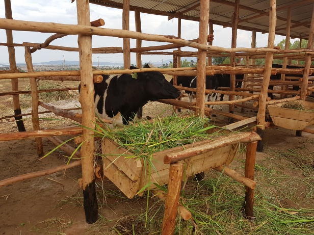 Communal cow shed_Nasho Rwanda