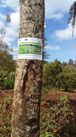 Brachiaria poster on tree